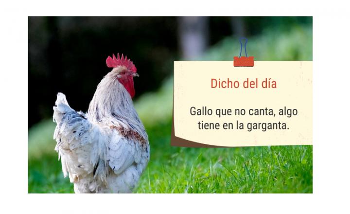 Saying of the day: Gallo que no canta, algo tiene en la garganta - Easy Español