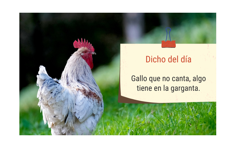 Saying of the day: Gallo que no canta, algo tiene en la garganta - Easy Español